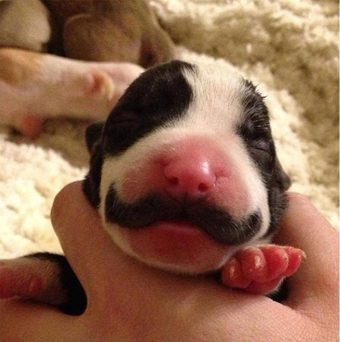 Puppy-born-with-a-mustache