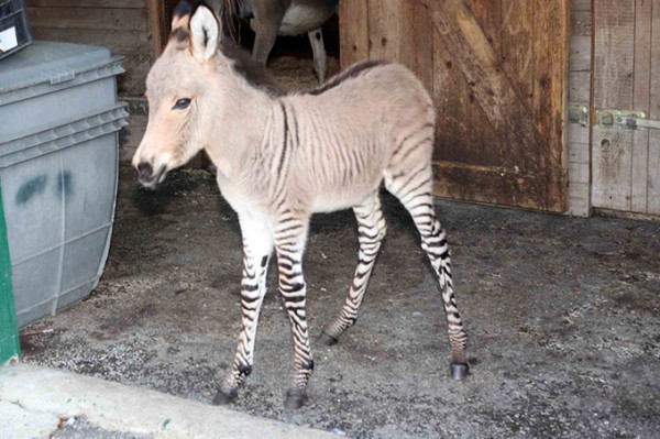 Ippo-the-zonkey--A-Cross-Between-a-Zebra-and-a