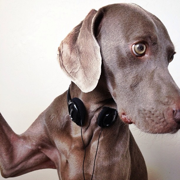 Harlow-the-Weimaraners-Selfies-01
