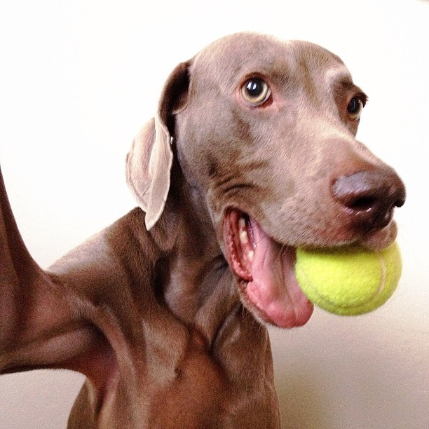 Harlow-the-Weimaraners-Selfies-02