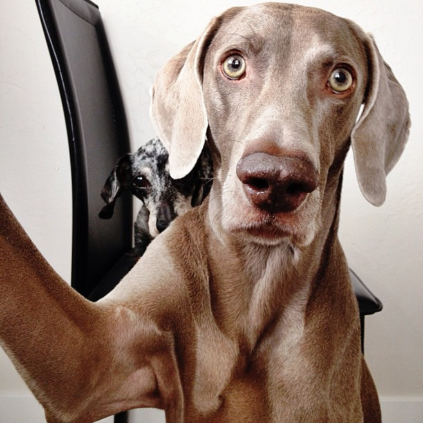 Harlow-the-Weimaraners-Selfies-03