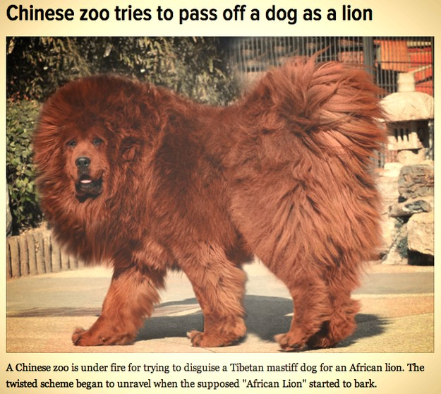 chines-try-to-pass-dog-off-as-lion_small