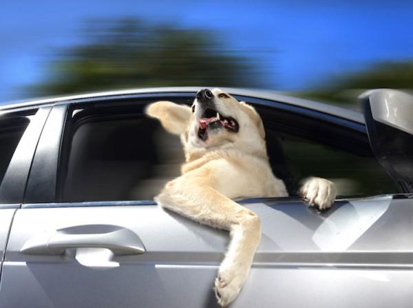 Dogs In Cars Calendar