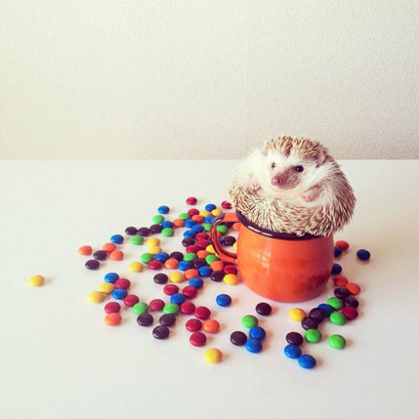 darcy-cute-Hedgehog-instagram-14