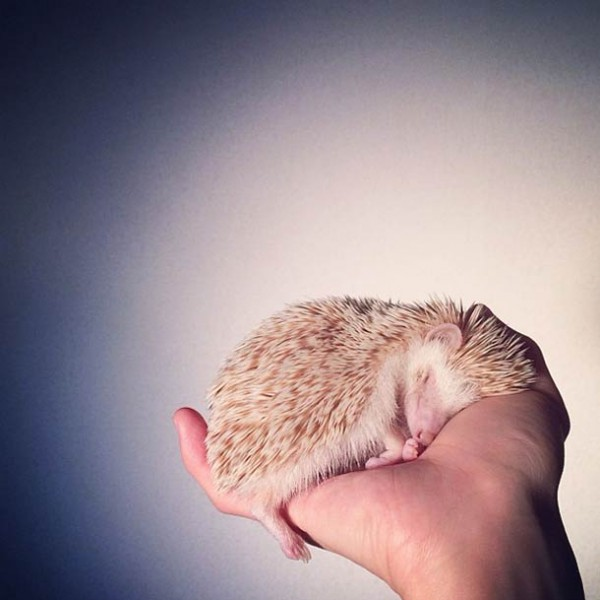 darcy-cute-Hedgehog-instagram-24