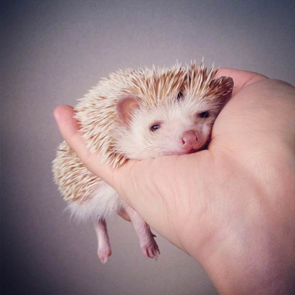 darcy-cute-Hedgehog-instagram-3