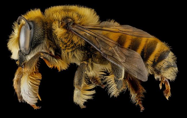 macro-bee-photography-51-650x412