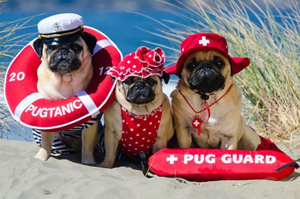 Pugs-in-Fancy-Dress-1