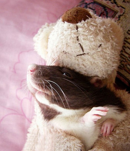 Rats-with-Teddy-Bears-12