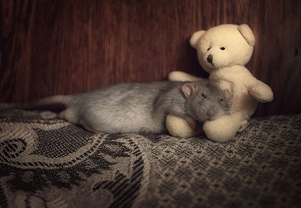 Rats-with-Teddy-Bears-18