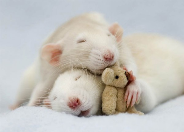 Rats-with-Teddy-Bears-8