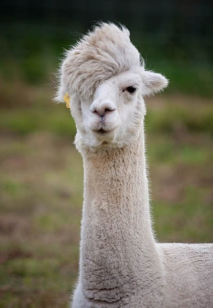 hilarious-alpaca-hairstyles-19