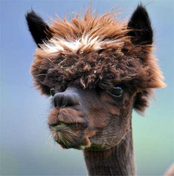 hilarious-alpaca-hairstyles-2 (1)