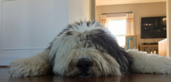 Sheepdog-before-and-after-haircut-685x333
