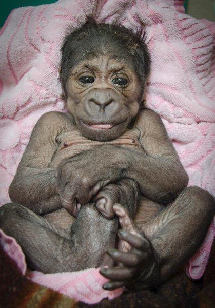 Gorilla Born