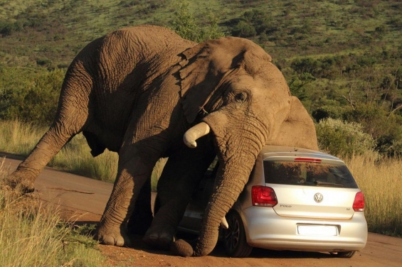 small_elephant_scratchin_on_vw2