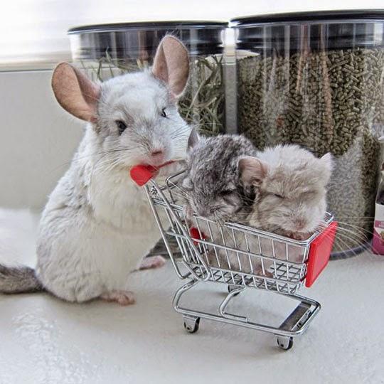 cute-chinchilla-shopping-cart-babies