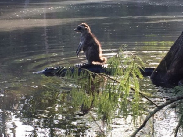 small_raccoon_riding_aligator