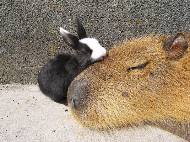 capybara-unusual-animal-friendship-35-5703a5979041b__605