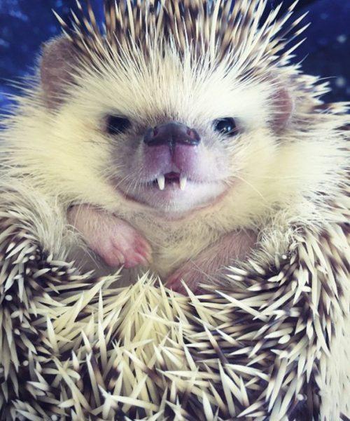 vampire-hedgehog-595x714